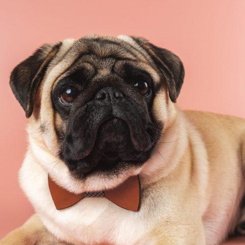 cute-pug-dog-with-bowtie-min